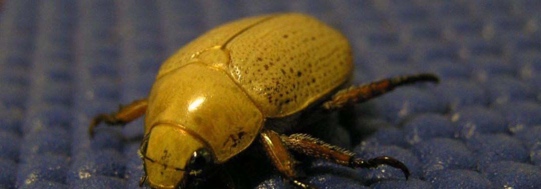Pest ID: Christmas Beetle
