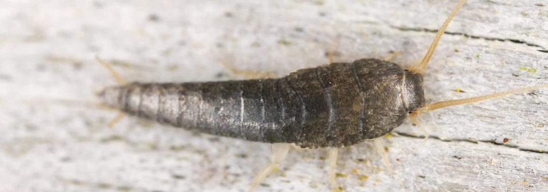 Pest ID: Silverfish