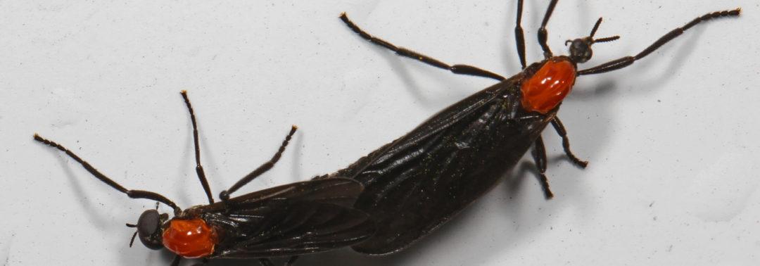 Pest ID: Lovebug