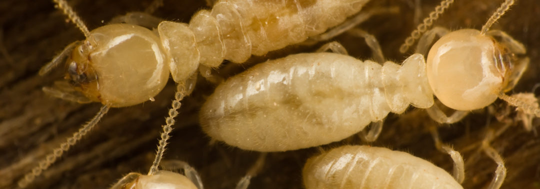 Protect Yourself from the Swarm of Subterranean Termites
