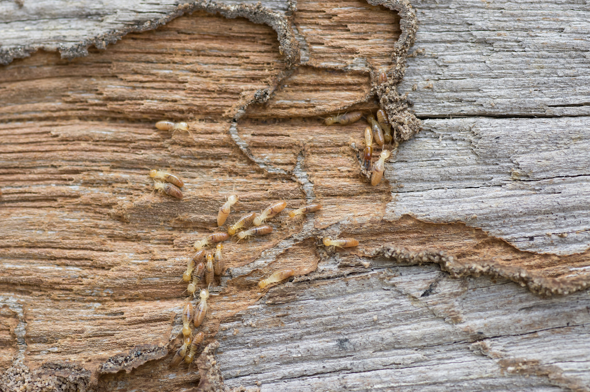 Do You Know The Difference Between Subterranean Vs Drywood Termites Drive Bye Pest Exterminators