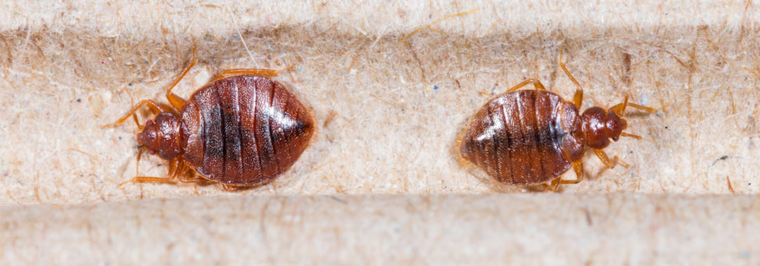 Bed Bug Infestation — One in Five Americans
