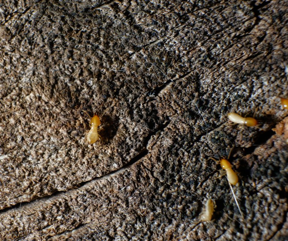 Dry Wood Termites