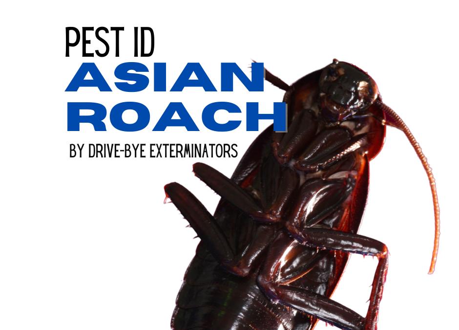Asian Roach
