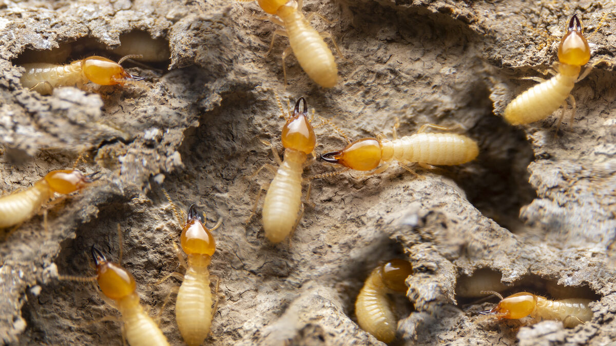 termites in florida